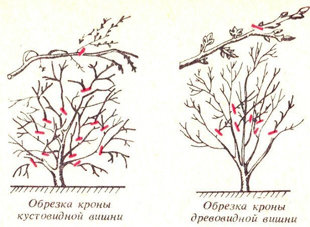 obrezka-vishni-1