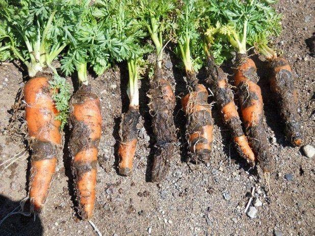 Черная гниль моркови