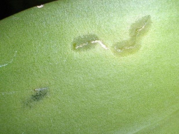 Нематода на орхидеях
