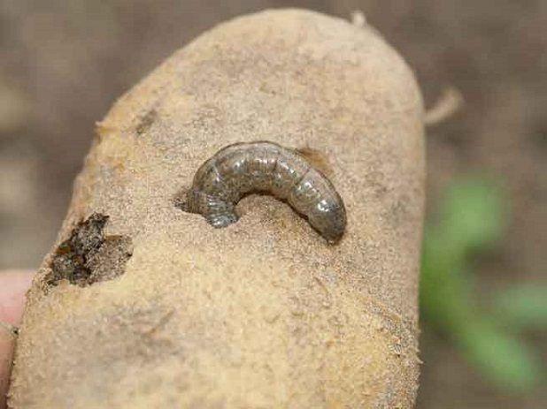 Картофельная совка гусеница
