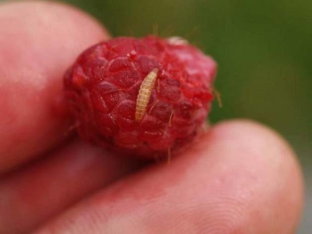 Малинный жук личинка