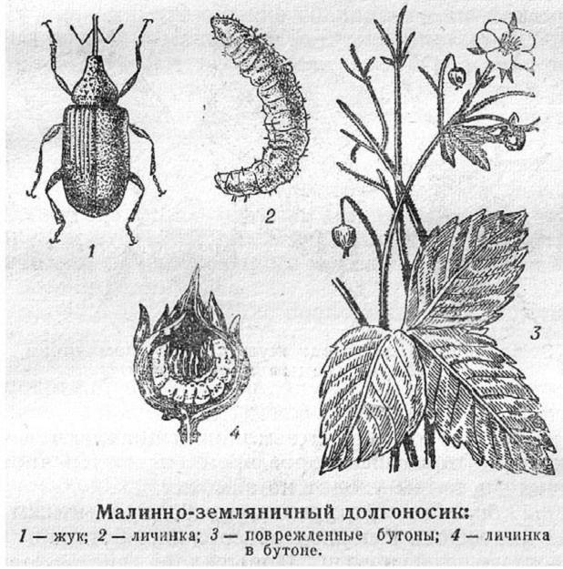 Малинно-земляничный долгоносик размножение