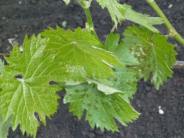 клещ зудень на винограде