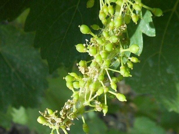 листовертки на винограде