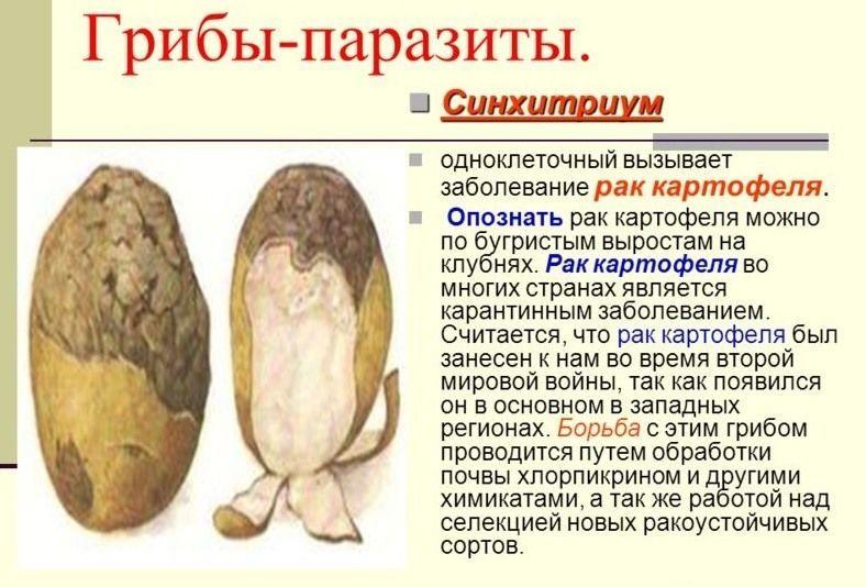 рак картофеля