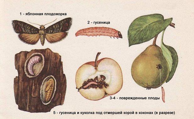 Развитие яблонной плодожорки