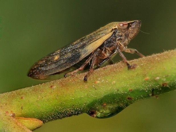 розанная цикада