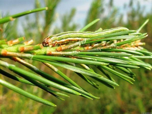 Гусеница сосновой совки