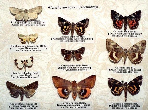 бабочки совки