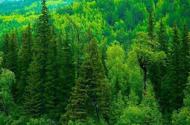 хвойный лес
