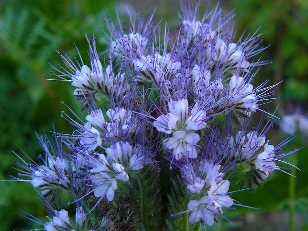 Фацелия цветет