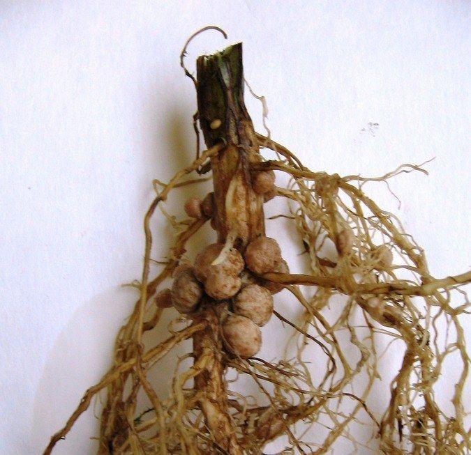корни бобовых