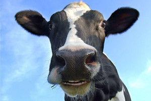 взгляд у коровы