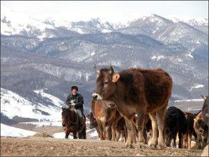 кавказская бурая корова