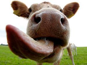 Вкус у коровы