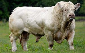 мясная корова