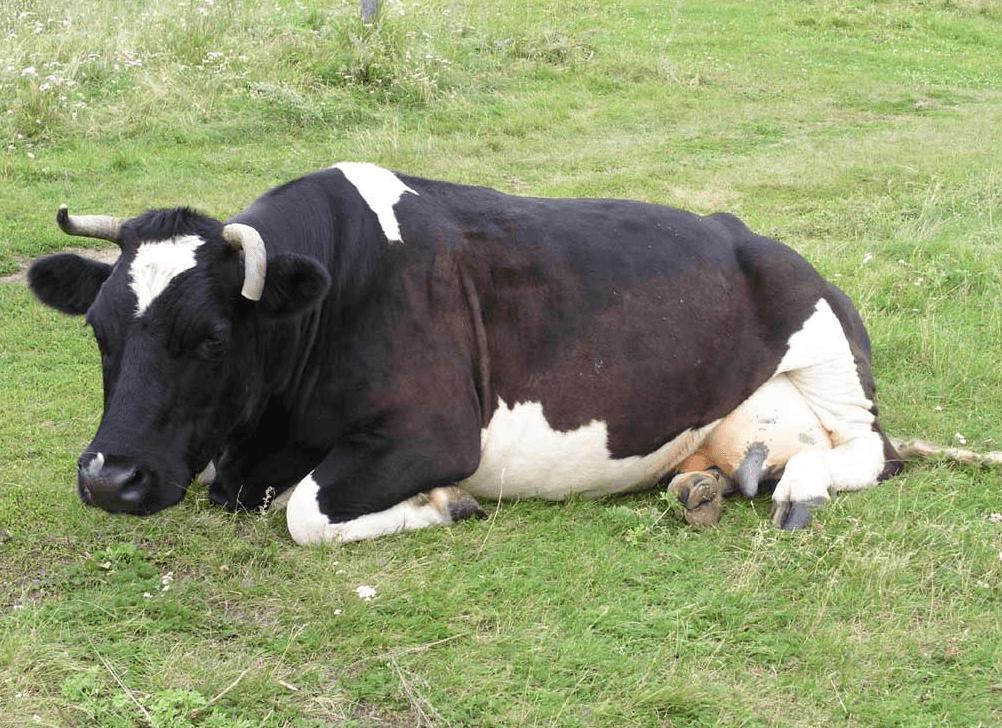 Уставшая корова