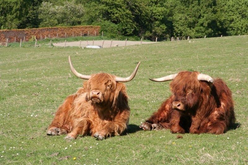Мини-коровы
