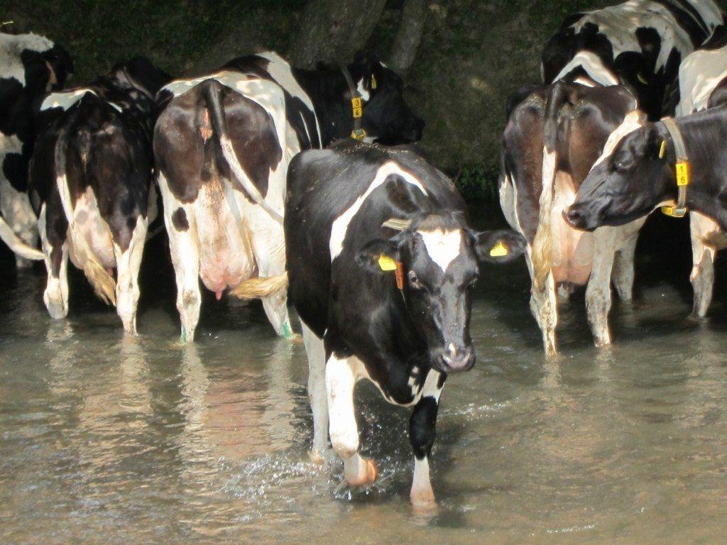 Голандские коровы