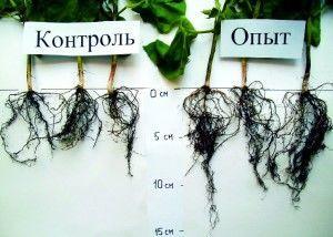 развитии корневой системы