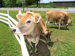 Особенности запуска и сухостоя коров