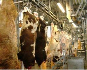 бойня коров