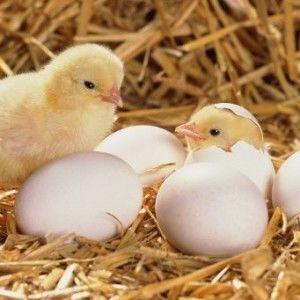 Содержание и уход за суточными цыплятами