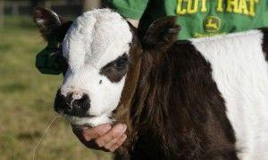 Лишай у коров и телят