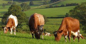 Дойная корова