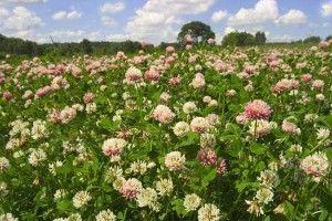 Сидераты-и-урожайность