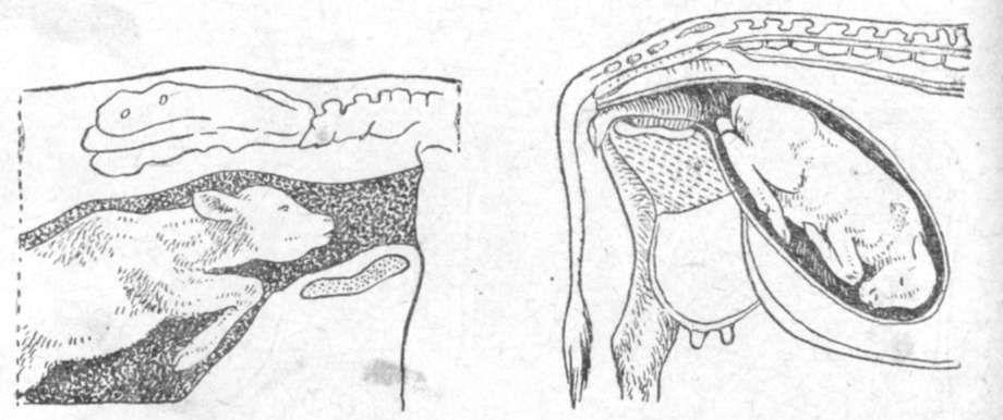 Телёнок в утробе с согнутыми ножками