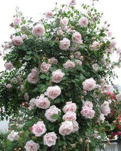 Основные химические элементы, в которых нуждаются розы