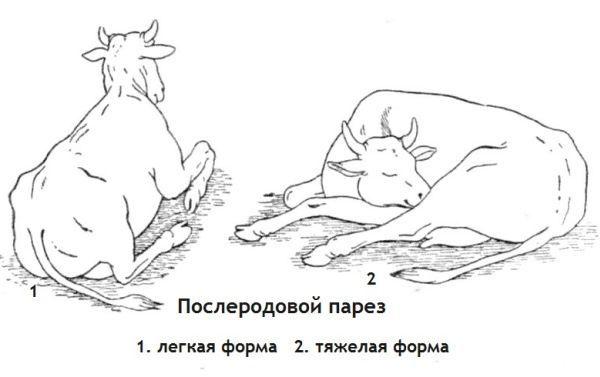Как распознать парез у коровы