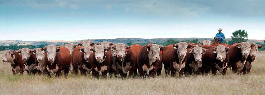 Масса быков Герефордской породы составляет - 850-1000 кг