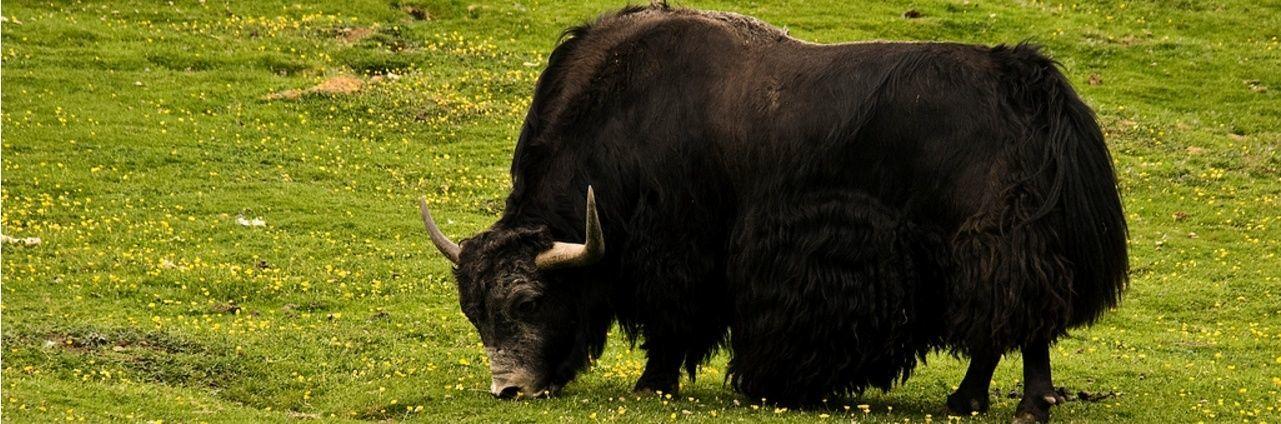 Як – шерстяной скот