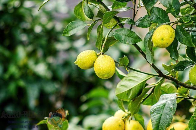 лимонное дерево 1