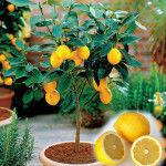 лимонное дерево мейера