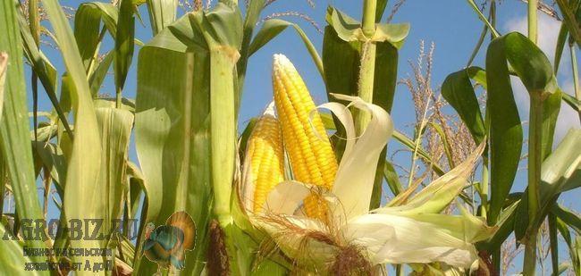 места посадки кукурузы