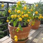 полив лимонного дерева