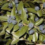 Эфирное масло в листьях Мирта