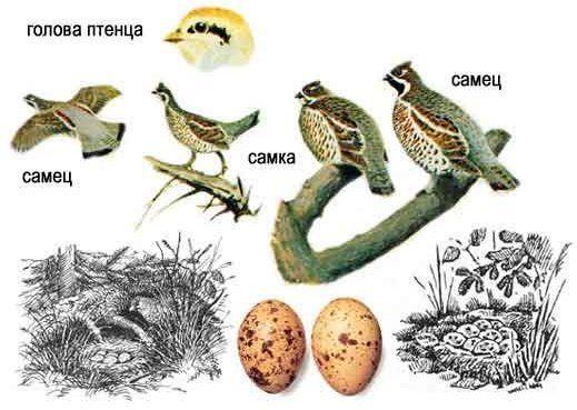 Фото рябчика: самка, самец, яйца.