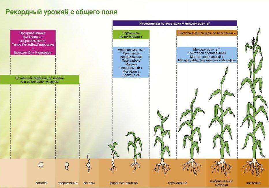 технология возделывания кукурузы