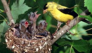 Щегол гнездо