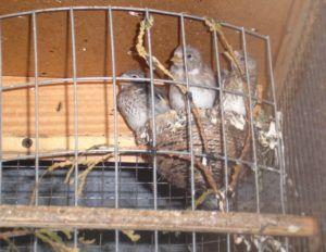 Гнездо щеглов в клетке