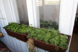 Петрушка в подвесных ящиках на окне