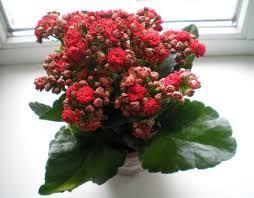 Цветущий красный каланхоэ