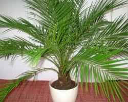 Выращивание пальмы дома