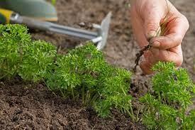 Уборка сорняков с петрушки