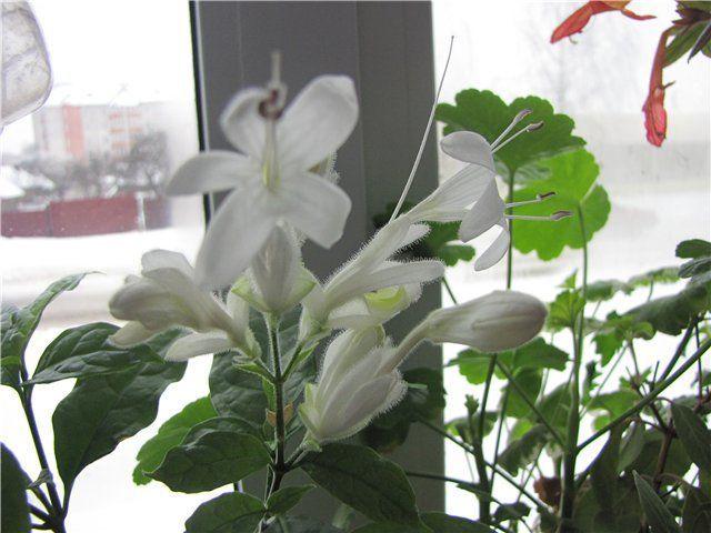Цветок Уайтфельдия