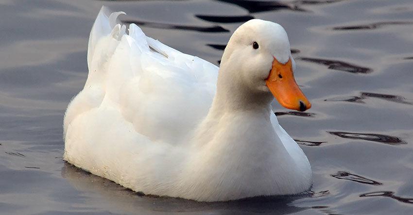 Белая пекинская утка